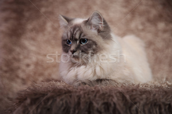 side view of a  furry cat lying on brown fur  Stock photo © feedough