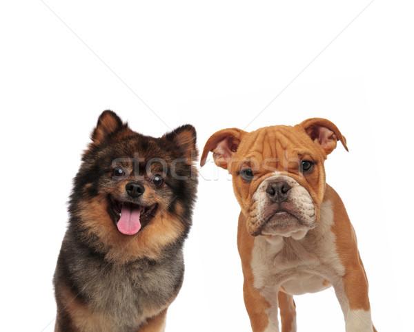 adorable spitz and english bulldog looking at camera Stock photo © feedough