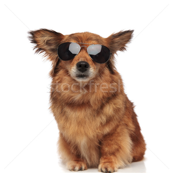 cool brown furry dog with sunglasses sitting Stock photo © feedough