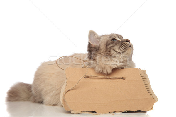 Gris hambriento gato hasta alimentos Foto stock © feedough