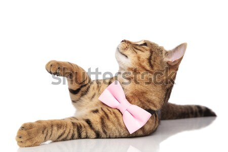 stylish british fold raising hand while looking up to side Stock photo © feedough