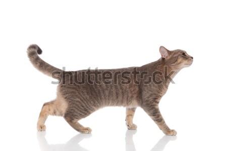 Foto stock: Vista · lateral · curioso · gris · gato · caminando