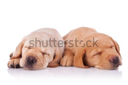 Stock fotó: Kettő · fáradt · labrador · retriever · kiskutyák · kép · alszik