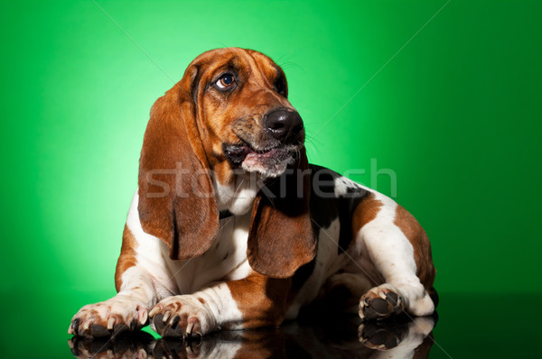 sad basset hound  Stock photo © feedough
