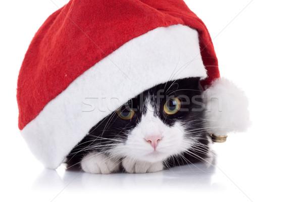 Foto d'archivio: Natale · cat · primo · piano · foto · cute · bianco · nero