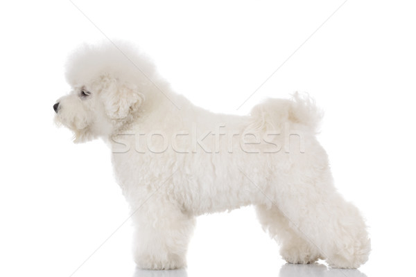 side view of a bichon frise  standing and looking away Stock photo © feedough