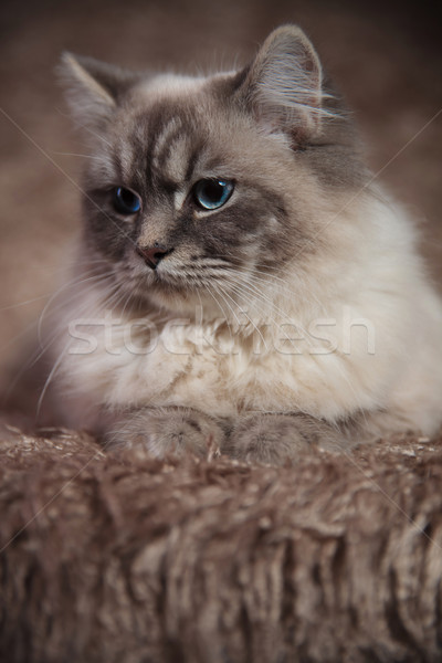 cool little furry cat lying on fur  Stock photo © feedough