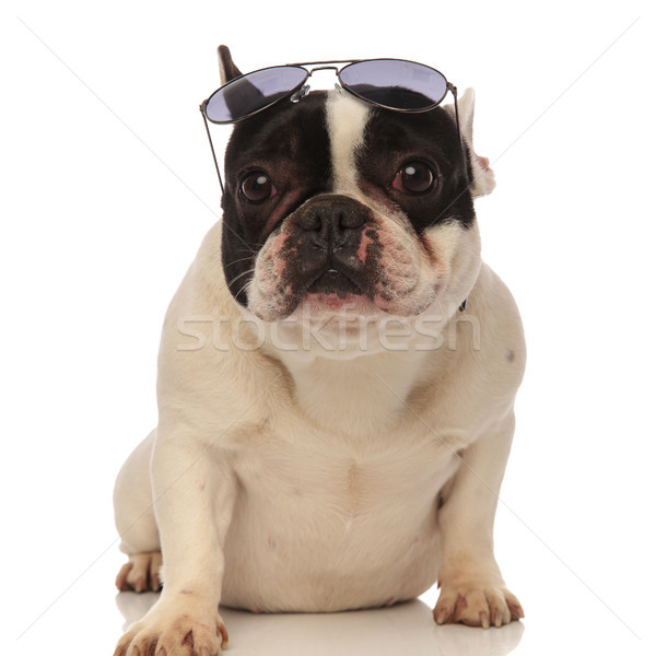 cool french bulldog wearing sunglasses on forehead Stock photo © feedough