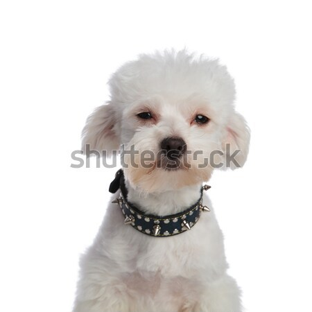 close up of cute bichon wearing a spiked collar Stock photo © feedough