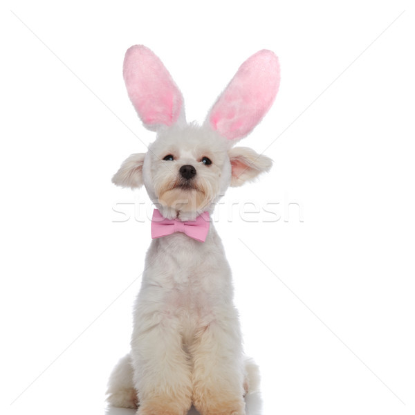 Stock photo: classy bichon sitting is ready for easter