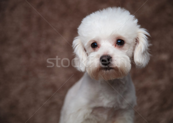 head of adorable furry bichon looking to side Stock photo © feedough