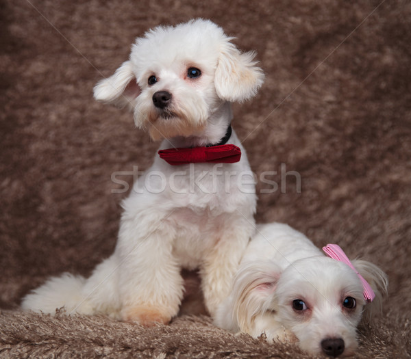 elegant bichon couple with one lying and the other sitting Stock photo © feedough