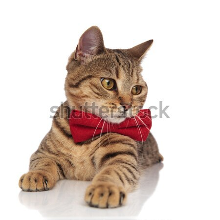 adorable tabby british fold with red bowtie looks to side Stock photo © feedough