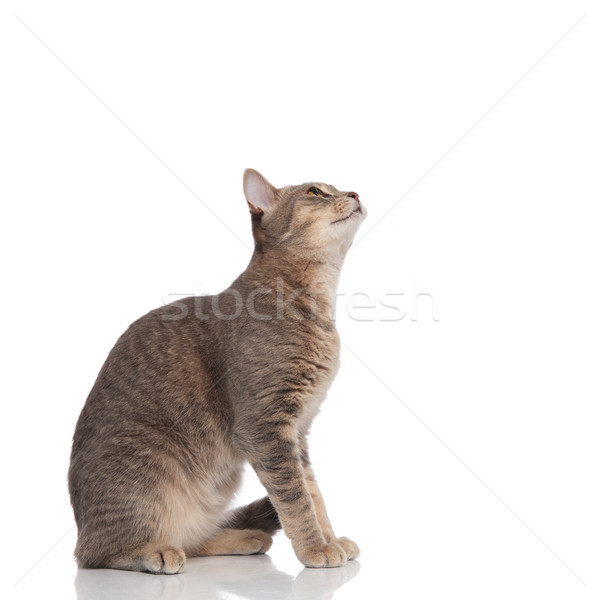 side view of grey cat sitting and looking up  Stock photo © feedough