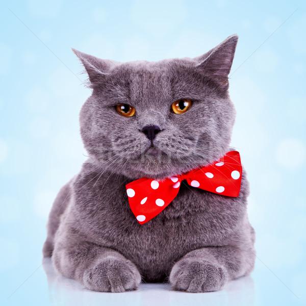 Сток-фото: скучно · большой · английский · кошки · красный · шее