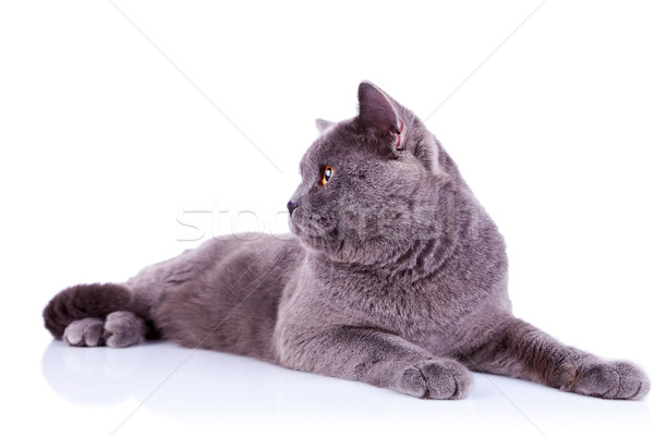Stock photo: side view of an big english cat