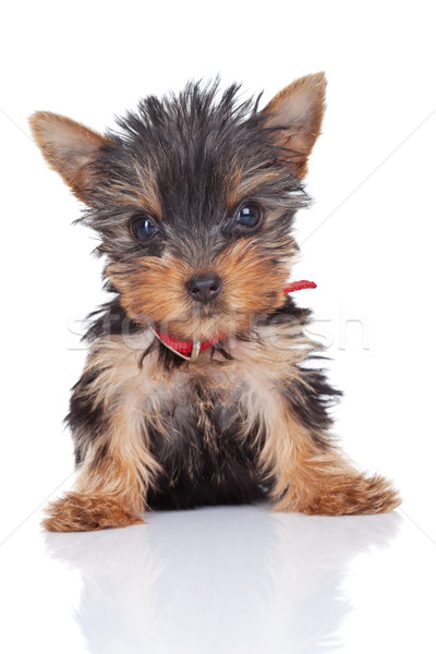 cute and curious yorkie toy Stock photo © feedough
