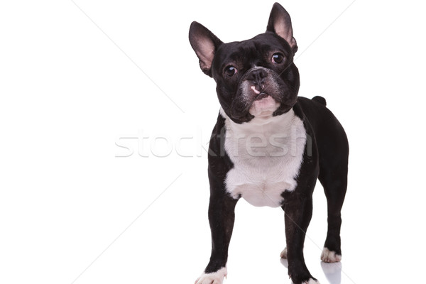 full body picture of a cute french bulldog puppy standing Stock photo © feedough