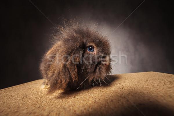 Foto d'archivio: Peloso · leone · testa · coniglio · coniglio · guardando