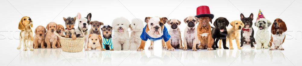 Сток-фото: собаки · белый · различный · одежды