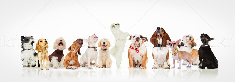 large group of curious dogs and puppies looking up Stock photo © feedough