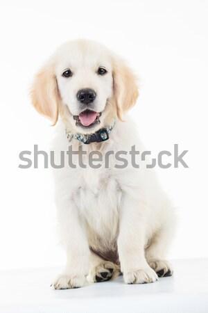 ülő zihálás arany retriever kutyakölyök kutya Stock fotó © feedough