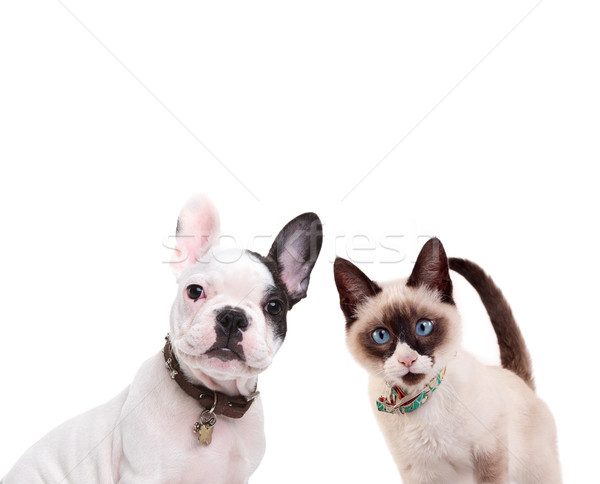 Stock photo: french bulldog and birmanese cat