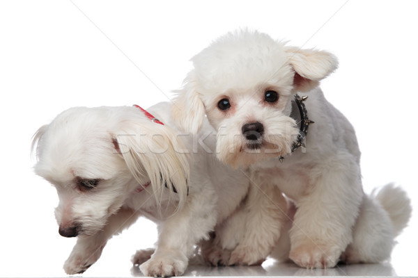 two adorable white bichons picking up a scent Stock photo © feedough