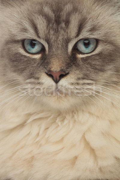 Gris chat tête yeux bleus regarder côté Photo stock © feedough