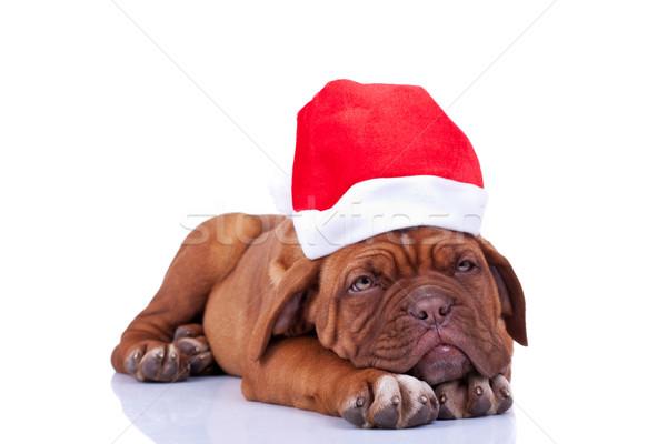 álmos mikulás kutyakölyök Bordeau visel kalap Stock fotó © feedough