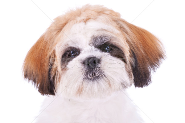 cute face of a little shih tzu  Stock photo © feedough