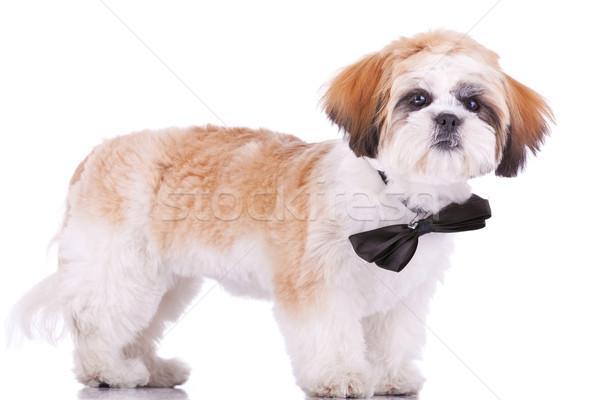 standing little shih tzu puppy Stock photo © feedough