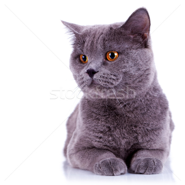 Foto stock: Curioso · grande · inglês · gato · olhando · algo