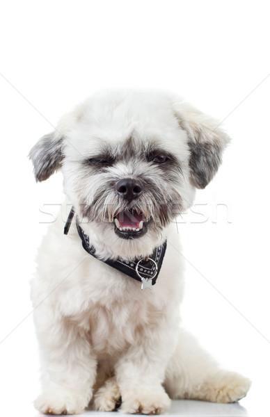 Uykulu havanese köpek yavrusu komik yüzü beyaz Stok fotoğraf © feedough