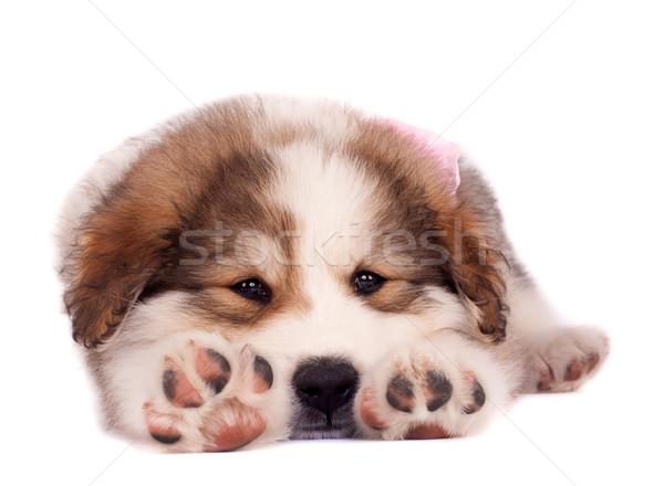 álmos kutyakölyök kép nyújtás fehér háttér Stock fotó © feedough