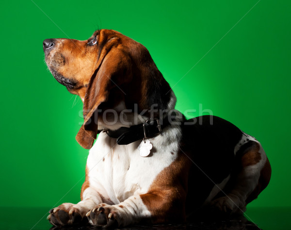Basset Hound Puppy Stock photo © feedough
