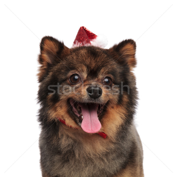 close up of happy santa pomeranian panting and looking to side Stock photo © feedough