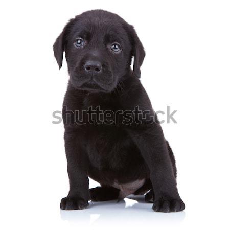 Cute мало черный Лабрадор ретривер щенков сидят Сток-фото © feedough