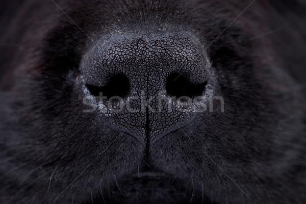Umido nero labrador naso macro foto Foto d'archivio © feedough