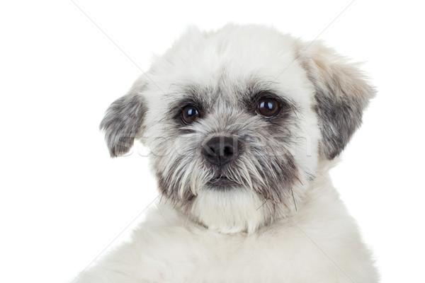 Sevimli yüz resim beyaz köpek yavrusu Stok fotoğraf © feedough