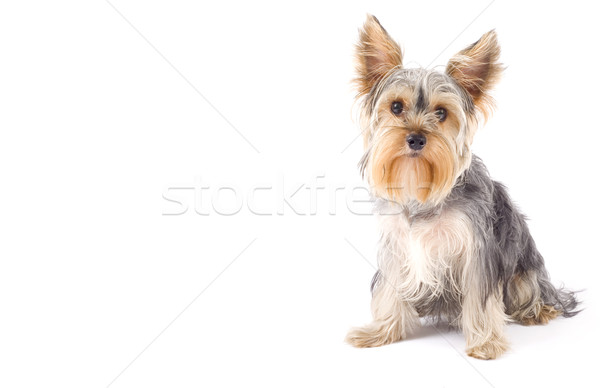 Yorkshire terrier espacio de la copia Foto blanco pelo Foto stock © feedough