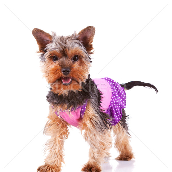 Foto stock: Yorkshire · cachorro · perro · pie · la · boca · abierta · blanco
