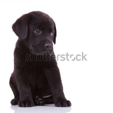 shy labrador retriever puppy dog  Stock photo © feedough