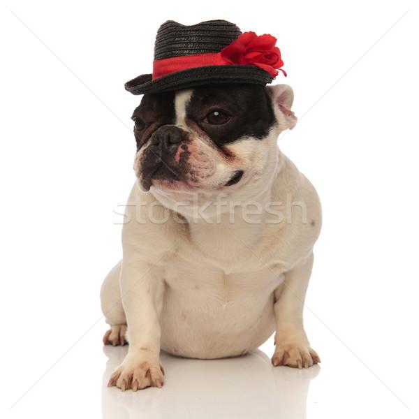Sevimli fransız buldok şapka bakıyor yan Stok fotoğraf © feedough