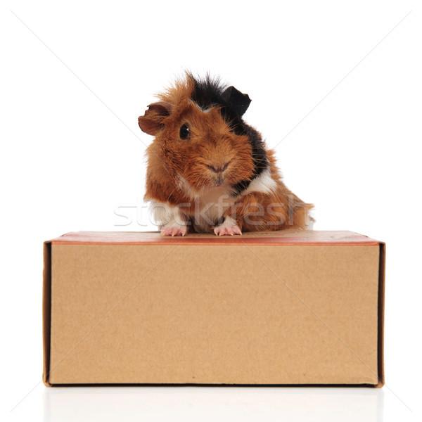 Curioso conejillo de indias cartón cuadro blanco madera Foto stock © feedough