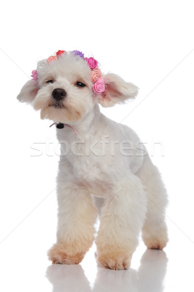 sad bichon wearing flowers crown while looking to side Stock photo © feedough