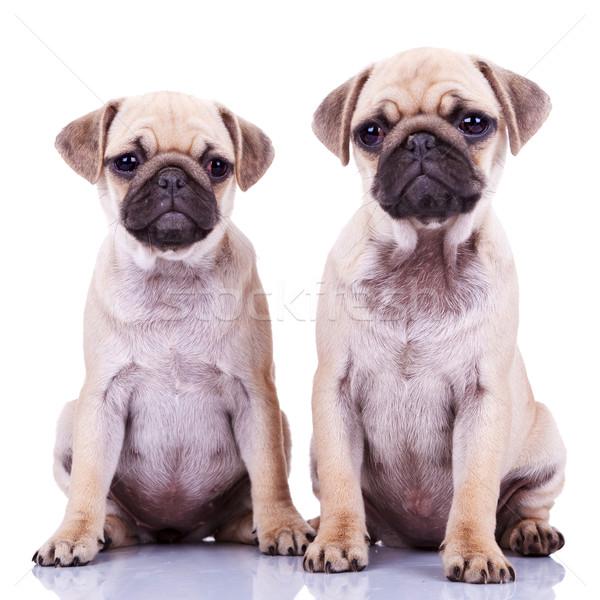 Сток-фото: два · Cute · щенков · собаки · сидят · белый