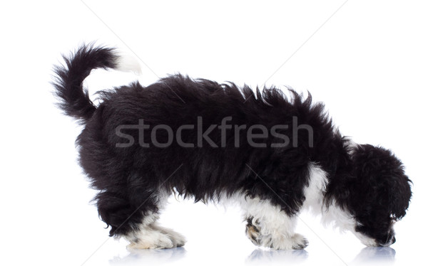 Havanese siyah beyaz köpek komik beyaz Stok fotoğraf © feedough