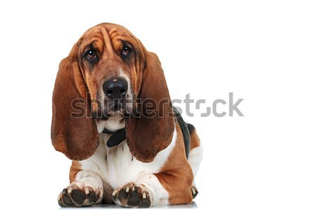 cute basset hound lying down Stock photo © feedough