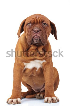 seated french mastiff puppy dog looks away to side Stock photo © feedough